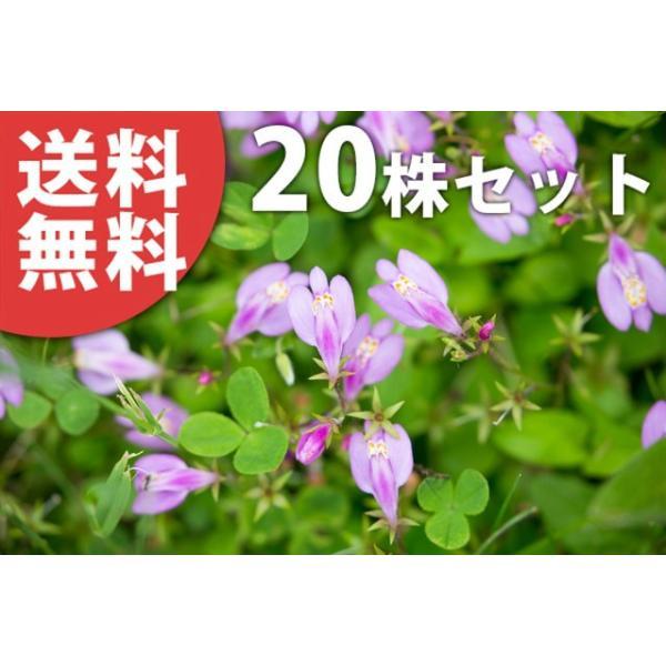 サギゴケ・ピンク花(20ポットセット)  9cmポット ピンクサギゴケ ピンク 苗木 植木 苗 庭木 生け垣 送料込み