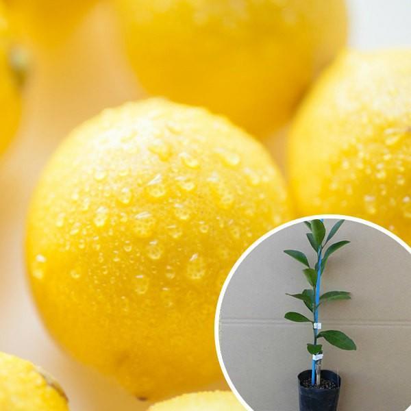 レモン・リスボンレモン(ポット) 樹高0.2m前後 9cmポット 苗木 ポット苗 1本で実がなる レモンの木 接ぎ木 苗 柑橘 果樹苗 果樹  植木 木 果樹