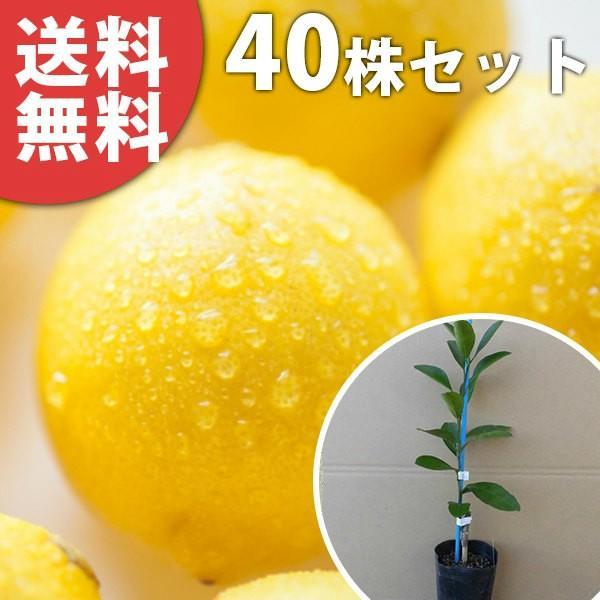 レモン・リスボンレモン(ポット)(40本セット) 樹高0.2m前後 9cmポット 苗木 ポット苗 1本で実がなる レモンの木 接ぎ木 苗 柑橘 果樹苗 果樹  植木 木 送料