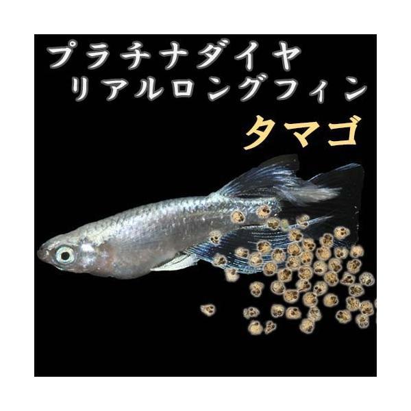 プレミアムメダカプラチナ星河リアルロングフィンタマゴ30粒血統めだかメダカ目高タマゴたまご卵繁殖水草産卵飼育種類綺麗生体
