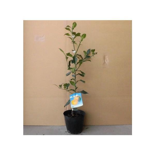 ユズ(柚子) 樹高0.3m前後 15cmポット 【 単 品 】 / 販売 苗 植木 苗木 庭木        木 果樹 果樹苗 果樹園用