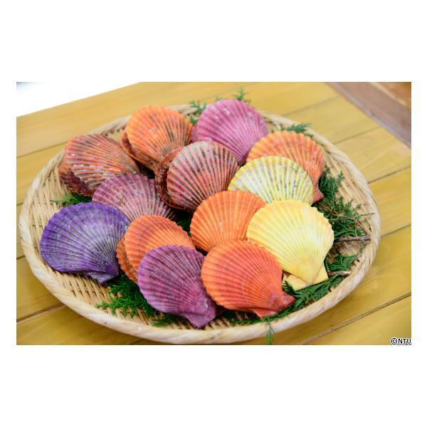 愛媛 活き ( ヒオウギ貝 ) 30枚 ホタテを超える濃厚な旨味 送料無料 宇和海の幸問屋