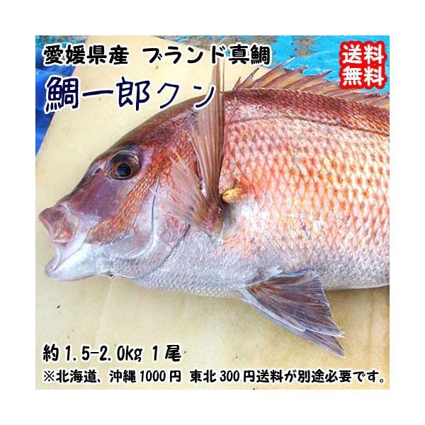 愛媛 ( 鯛一郎クン ブランド真鯛 ) 1.5-2kgサイズ 下処理済み 送料無料 宇和海の幸問屋