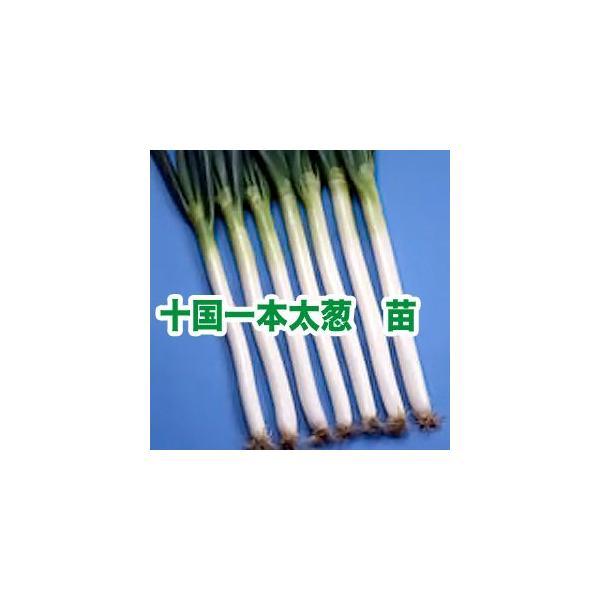 野菜の苗 十国一本太ねぎ ネギ・葱 苗 50本/束|vg-harada