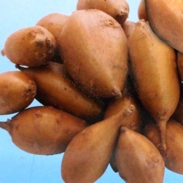 野菜・種/苗 アピオス・ほどいも 種芋・生もの種 50g|vg-harada|03
