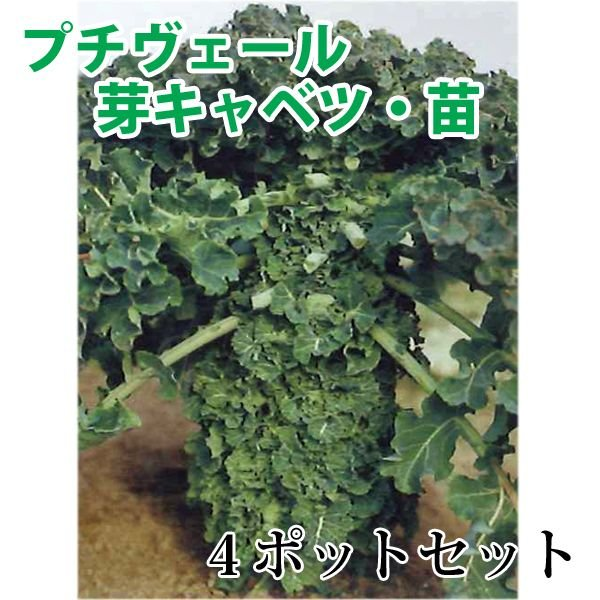 数量限定!野菜の苗 健康野菜 プチヴェール・非結球芽キャベツ/きゃべつ 苗 4ポット入りセット |vg-harada