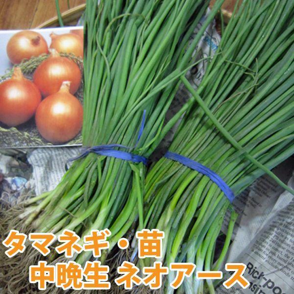 野菜の苗 中晩生 ネオアース・タマネギ 玉葱 玉ねぎ  100本入 vg-harada