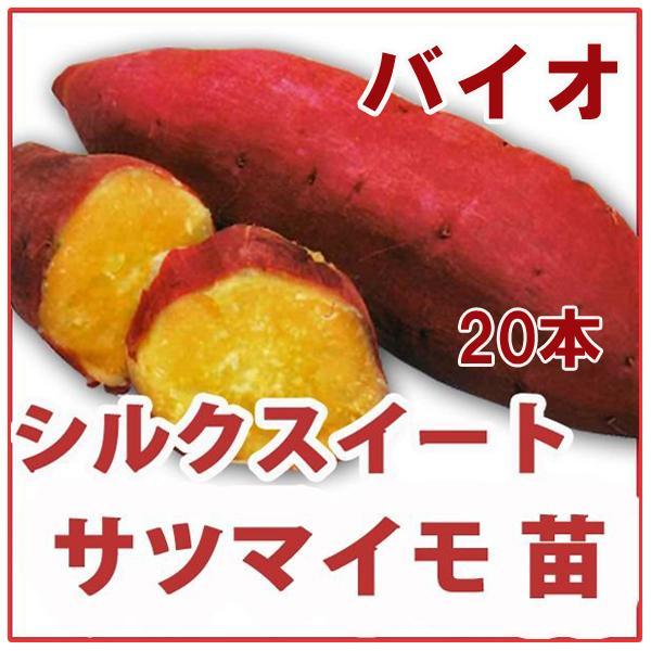 大人気!野菜の苗 シルクスイート・サツマイモ さつま サツマ 苗 25本入り |vg-harada