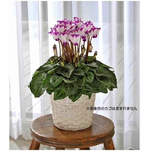 数量限定!送料無料 花の苗 鉢花 セレナーディア ビクトリアブルー 5号花鉢/1ポット サントリー|vg-harada|02