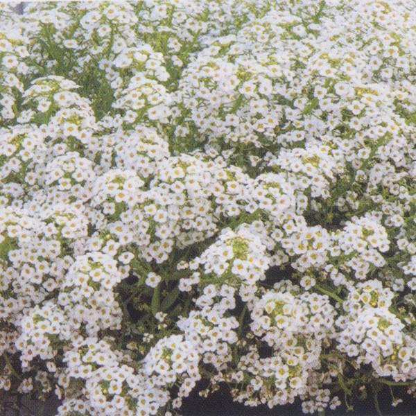 花の種(営利用)スイートアリッサム ニワナズナ ノースフェイス ホワイト 5000粒 サカタのタネ|vg-harada