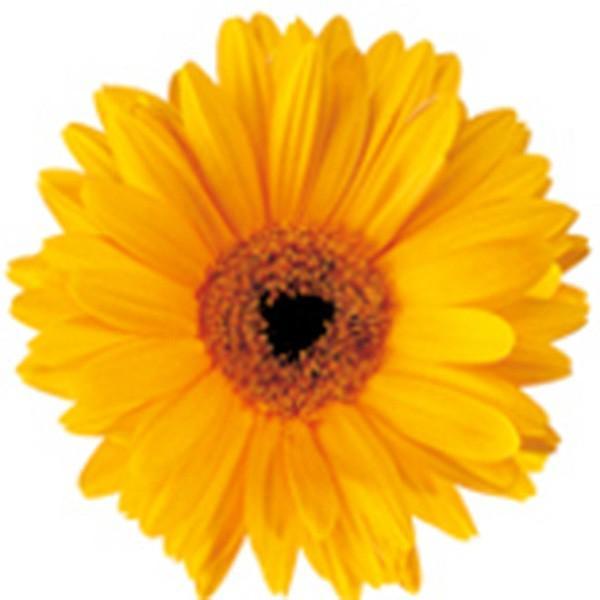 花の種(営利用)ガーベラ フェスティバル ゴールデンイエローアイ 100粒 コート種子 サカタのタネ 種苗(メール便発送)
