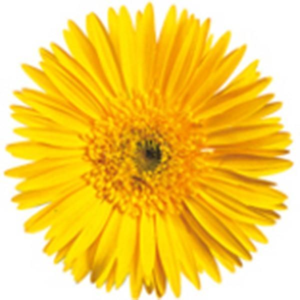 花の種(営利用)ガーベラ フェスティバル セミダブフェスティバル イエロー 100粒 コート種子 サカタのタネ 種苗(メール便発送)