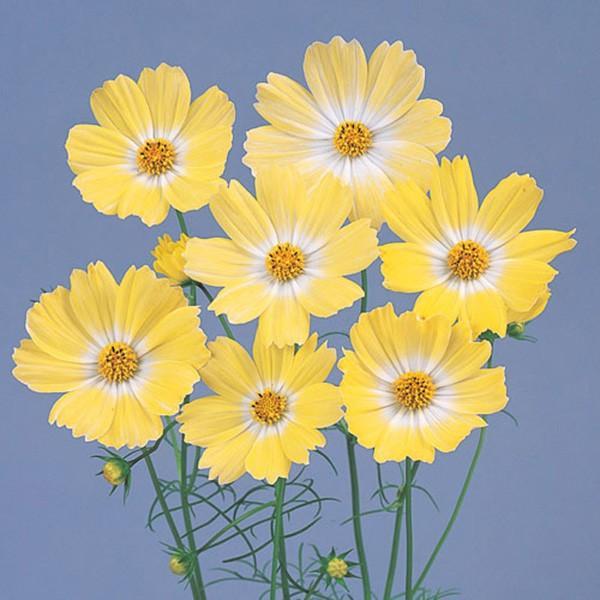 花の種(営利用)コスモス キャンパス イエロー 1dl サカタのタネ 種苗(メール便発送)