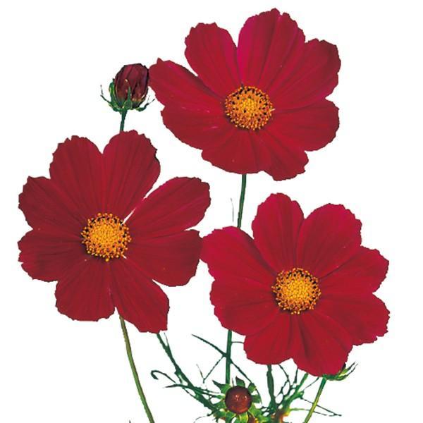 花の種(営利用)コスモス ベルサイユ レッド 1dl サカタのタネ 種苗(メール便発送)