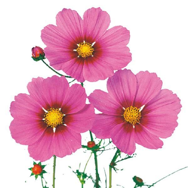 花の種(営利用)コスモス ベルサイユ スペシャル 1dl サカタのタネ 種苗(メール便発送)