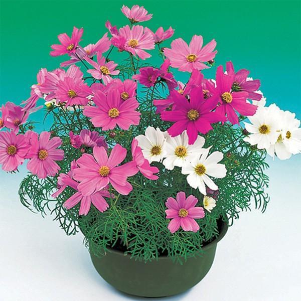 花の種(営利用)コスモス スーパービッキー ミックス 1l サカタのタネ 種苗