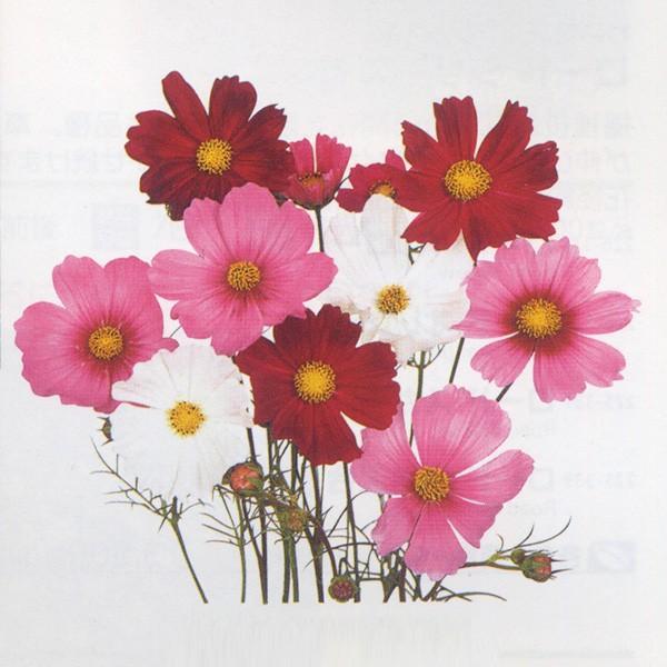 花の種(営利用)コスモス センセーション 混合 1dl サカタのタネ 種苗(メール便発送)