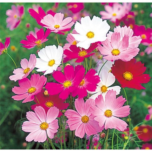 花の種(営利用)コスモス 美色混合 1l サカタのタネ 種苗