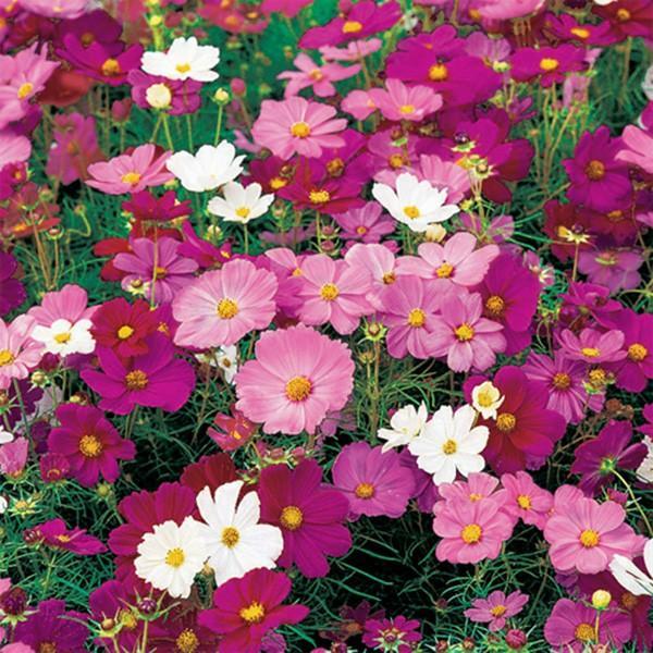 花の種(営利用)コスモス 秋咲き大輪 オータムビューティー 1l サカタのタネ 種苗