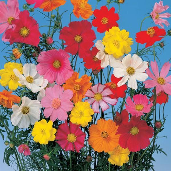 花の種(営利用)コスモス パレード 特選混合 1l サカタのタネ 種苗