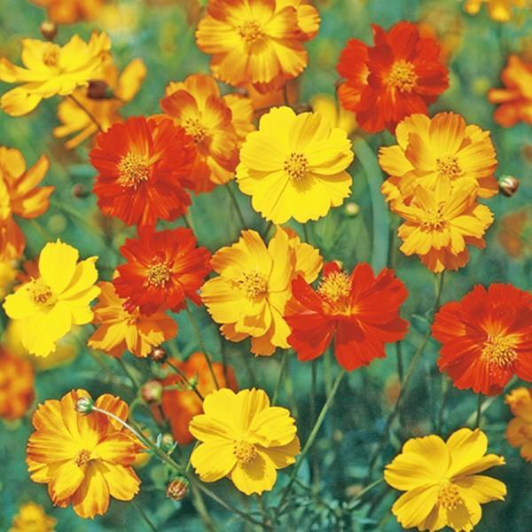 花の種(営利用)コスモス ブライトライト 混合 1l サカタのタネ 種苗