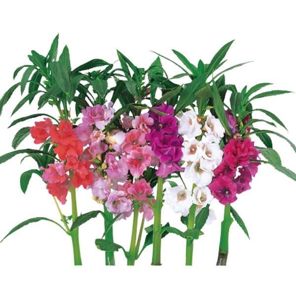 花の種(営利用)ホウセンカ 椿咲混合 1dl サカタのタネ 種苗(メール便発送)