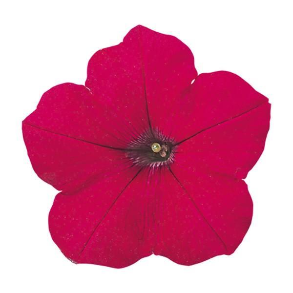 花の種(営利用)ペチュニア バカラ チェリーローズ 1000粒 ペレット種子 サカタのタネ 種苗(メール便発送)