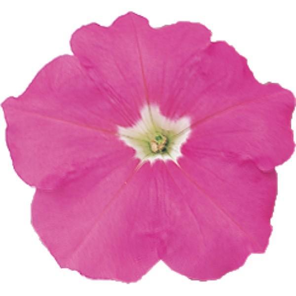 花の種(営利用)ペチュニア バカラ ピンク 1000粒 ペレット種子 サカタのタネ 種苗(メール便発送)