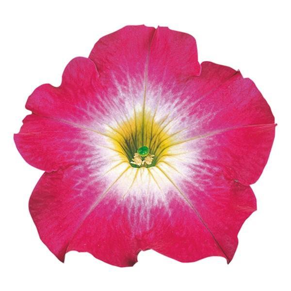花の種(営利用)ペチュニア バカラ ローズモーン 1000粒 ペレット種子 サカタのタネ 種苗(メール便発送)