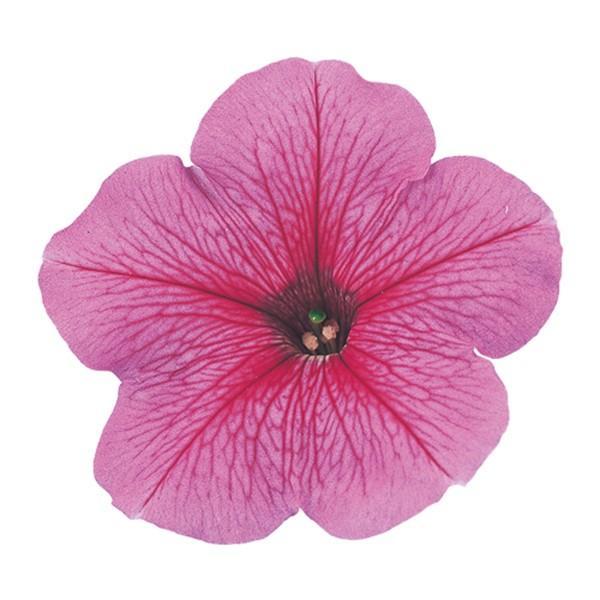 花の種(営利用)ペチュニア バカラ ピンクベイン 1000粒 ペレット種子 サカタのタネ 種苗(メール便発送)