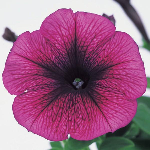 花の種(営利用)ペチュニア バカラ プラム 1000粒 ペレット種子 サカタのタネ 種苗(メール便発送)