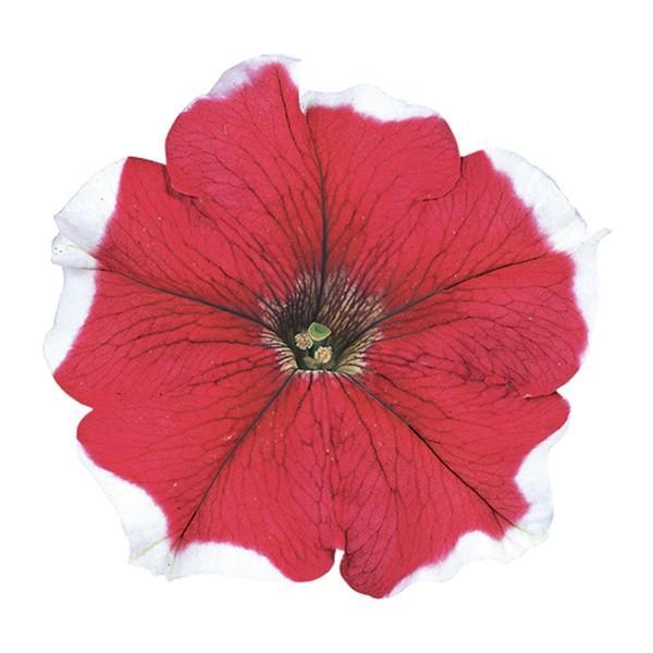 花の種(営利用)ペチュニア バカラ レッドピコティー 1000粒 ペレット種子 サカタのタネ 種苗(メール便発送)