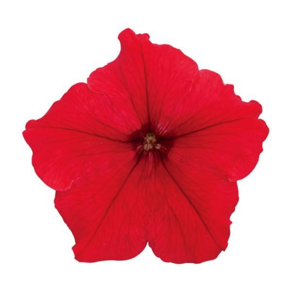 花の種(営利用)ペチュニア マンボGP レッド 1000粒 ペレット種子 サカタのタネ 種苗(メール便発送)