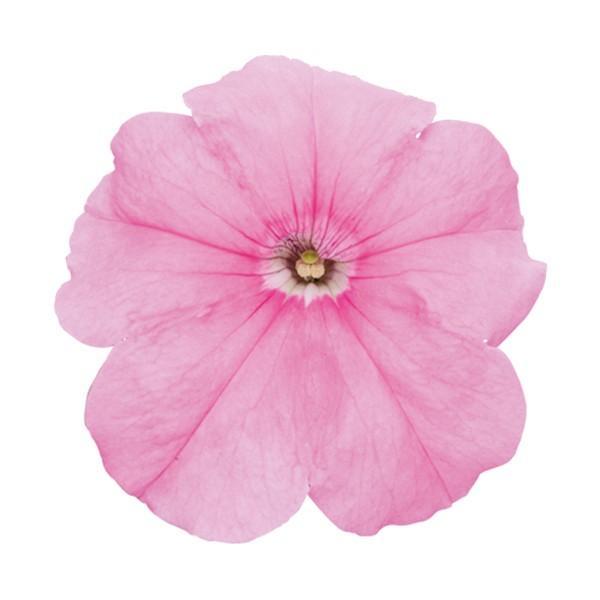 花の種(営利用)ペチュニア マンボGP スイートピンク 1000粒 ペレット種子 サカタのタネ 種苗(メール便発送)