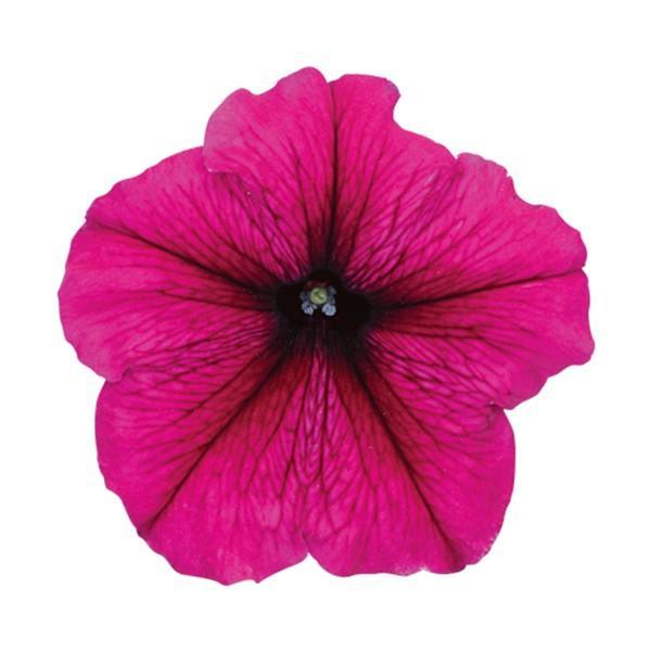 花の種(営利用)ペチュニア マンボGP バーガンディ 1000粒 ペレット種子 サカタのタネ 種苗(メール便発送)