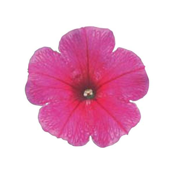 花の種(営利用)ペチュニア クリーピア(R) ローズ 1000粒 ペレット種子 サカタのタネ 種苗(メール便発送)