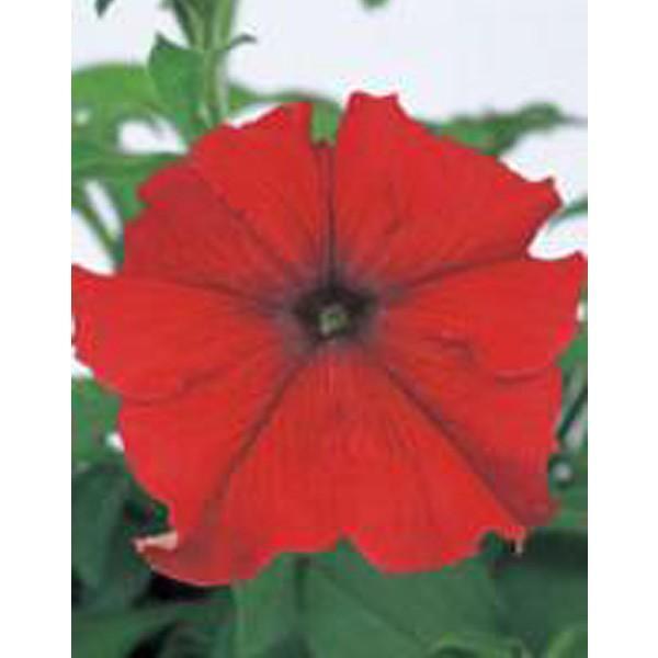 花の種(営利用)ペチュニア イーグル レッド(ver.2)1000粒 ペレット種子 サカタのタネ 種苗(メール便発送)