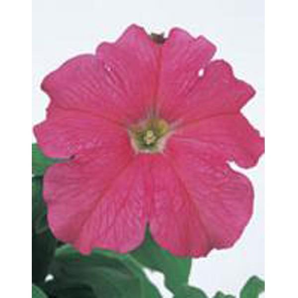 花の種(営利用)ペチュニア イーグル ピンク 1000粒 ペレット種子 サカタのタネ 種苗(メール便発送)