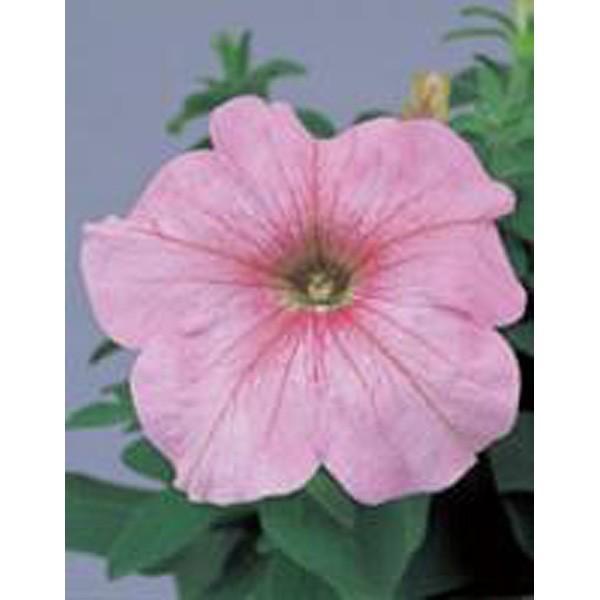 花の種(営利用)ペチュニア イーグル パステルピンク 1000粒 ペレット種子 サカタのタネ 種苗(メール便発送)