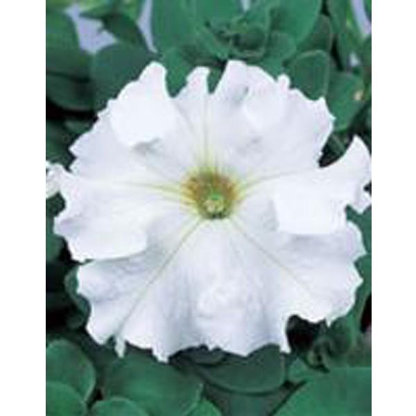 花の種(営利用)ペチュニア イーグル ホワイト 1000粒 ペレット種子 サカタのタネ 種苗(メール便発送)