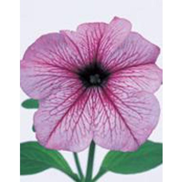 花の種(営利用)ペチュニア イーグル プラムベイン 1000粒 ペレット種子 サカタのタネ 種苗(メール便発送)
