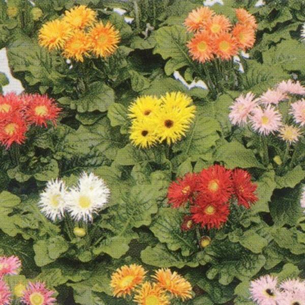 花の種(営利用)ガーベラ F1フロリライン ミニ スパイダーミックス 500粒 タキイ種苗(メール便発送)