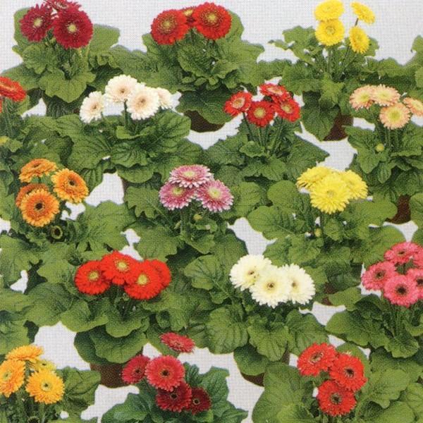 花の種(営利用)ガーベラ F1サンデイズ マイクロ ミックス 500粒 タキイ種苗(メール便発送)