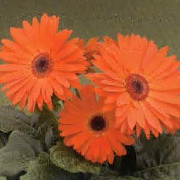 花の種(営利用)ガーベラ F1ロイヤル オレンジスカーレット 500粒 タキイ種苗(メール便発送)