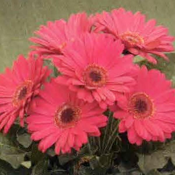 花の種(営利用)ガーベラ F1ロイヤル ディープローズ 500粒 タキイ種苗(メール便発送)