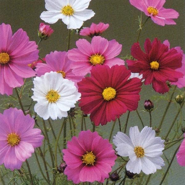花の種(営利用)コスモス 高性種 センセーション混合 1l タキイ種苗