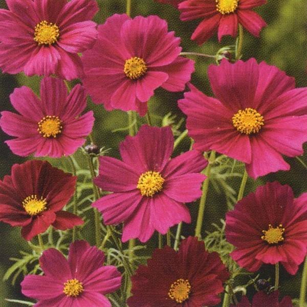 花の種(営利用)コスモス 高性種 センセーション ダズラ 1l タキイ種苗