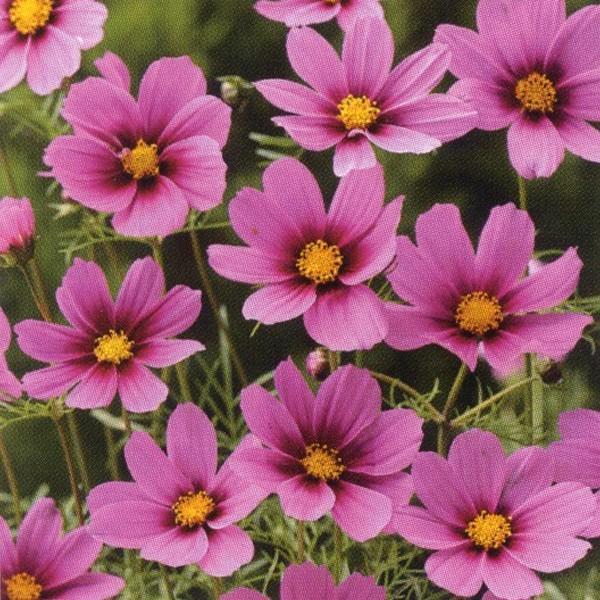 花の種(営利用)コスモス 高性種 センセーション ラディアンス 1dl タキイ種苗(メール便発送)