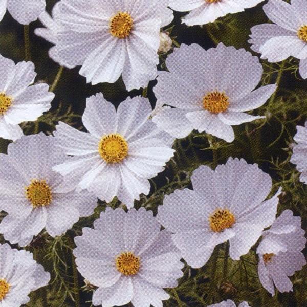 花の種(営利用)コスモス 高性種 センセーション ホワイト 1l タキイ種苗