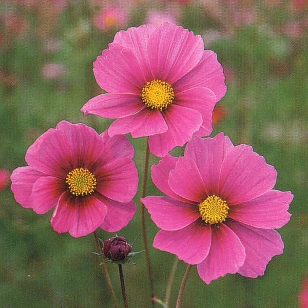 花の種(営利用)コスモス 高性種 ベルサイユ 1l タキイ種苗
